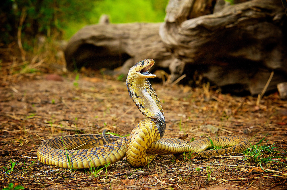 The snouted cobra (Naja annulifera), also called the Banded Egyptian cobra, is a species of cobra found in Southern Africa.