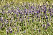 Blooming lupine mixed in with grass