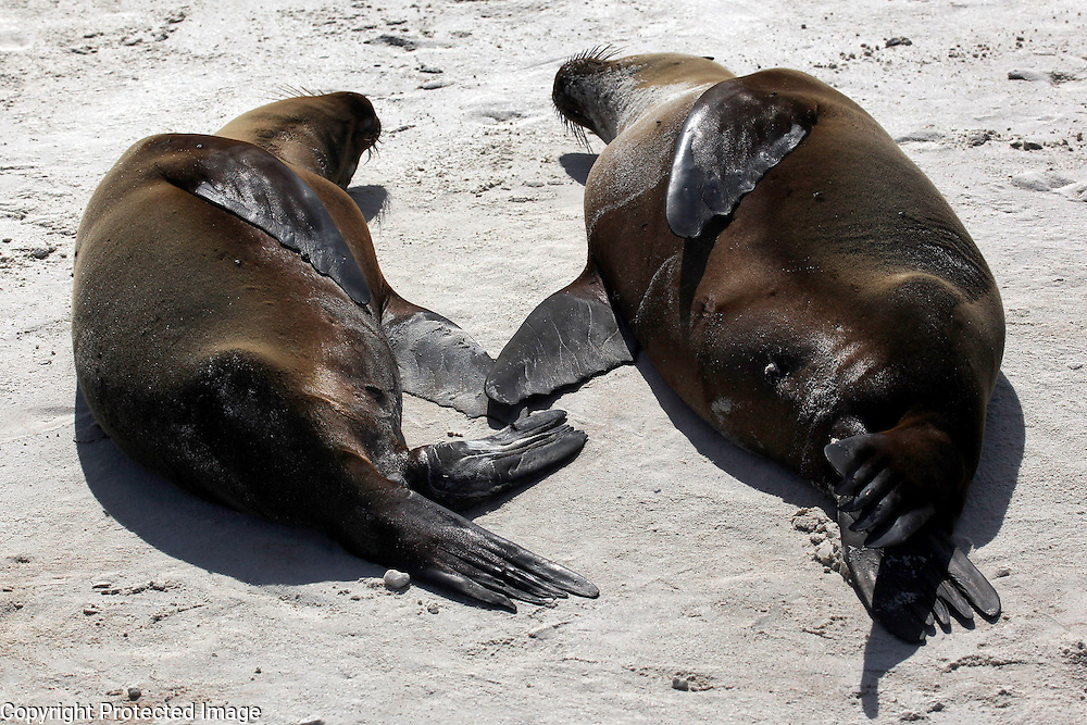 Two seals touch flippers while napping on the beach on Espanola Island in the Galapagos.