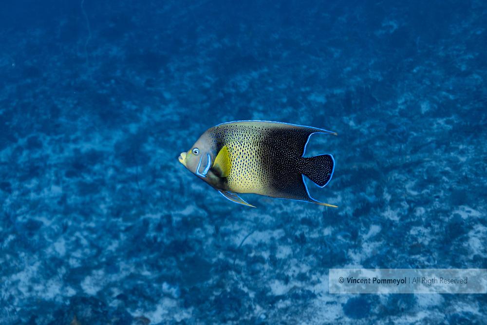 Semicircle angelfish-Poisson ange à demi-cercles (Holacanthus semicirculatus), Nusa Penida island, Bali, Indonesia.