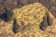 American bullfrog tadpoles in a pond in Acadia National Park, Maine, North America