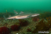 spiny dogfish, piked dogfish, spurdog, or dog sharks,  Squalus suckleyi (formerly Squalus acanthias ), swimover red sea urchins, Strongylocentrotus franciscanus, Quadra Island off Vancouver Island, British Columbia, Canada