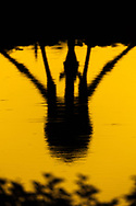 A giraffe silhouette reflects in the still water as it comes to a waterhole to drink at sunset, Etosha National Park, Namibia.
