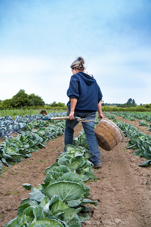 Farmer Jesse Sosnicki gets ready to harvest her field of green cabbages.