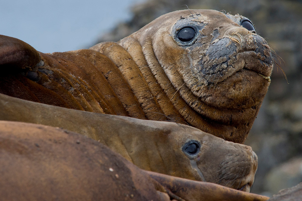 Elephant seals at Hannah Point