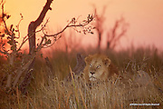African Lion<br /> Moremi Game Reserve, Botswana, Africa<br /> <br /> The African lion depicted in this limited edition photograph, eyes glowing as the sun sits sun behind him, awakens from a nap in the Moremi Game Reserve. Aroused by several lionesses in his pride calling to one another prior to getting underway on their next hunt, he musters the will-power to arise and follow them as they strike out.<br /> <br /> Edition of 500