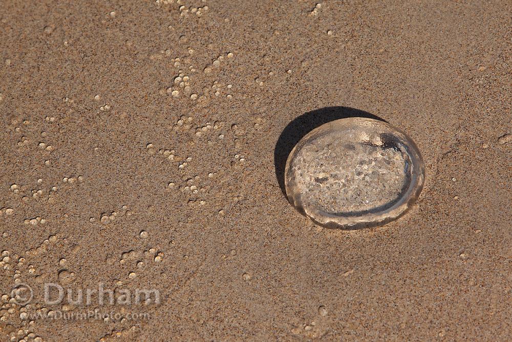 A jellyfish washed up on the beach of Santa Fe Island, Galapagos Archipelago - Ecuador.