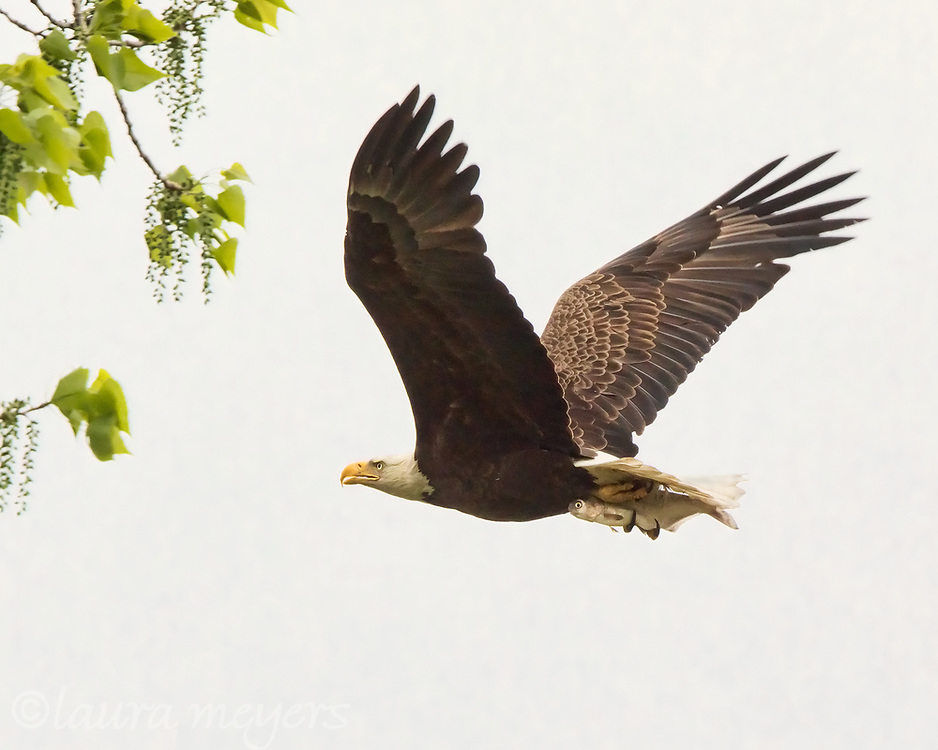Bald Eagle with Fish in Flight  approaching tree at Magee Marsh in Ohio.