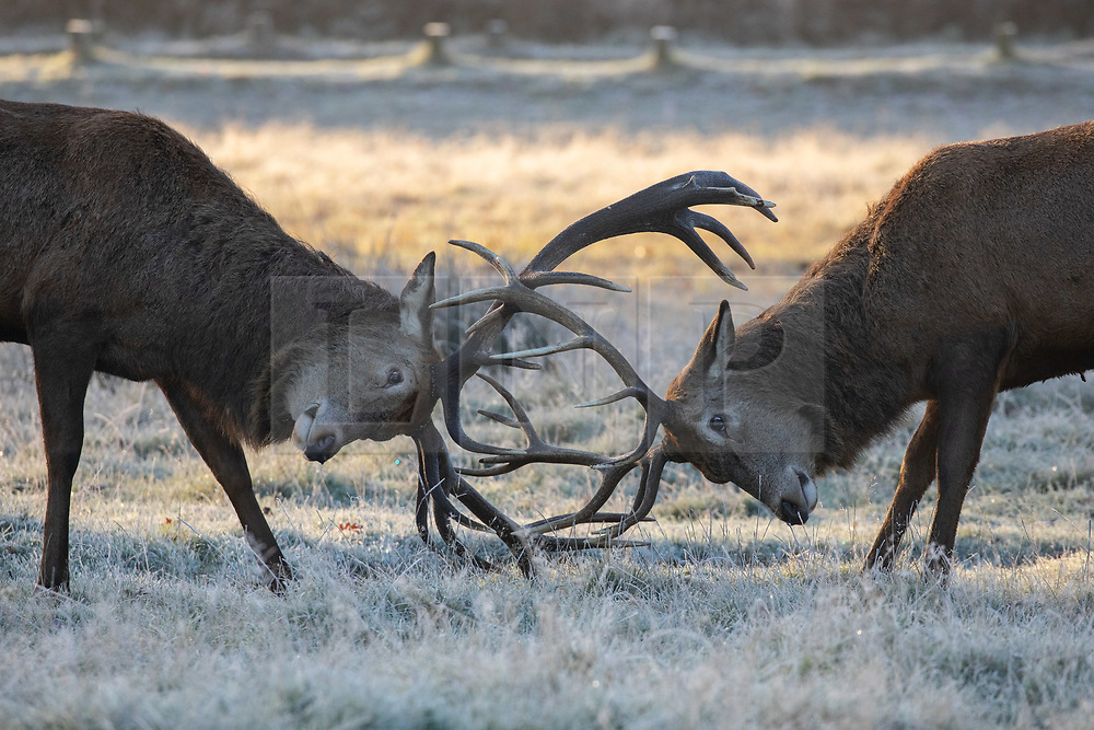 © Licensed to London News Pictures. 02/12/2019. London, UK. Deer rutting in the frost, at sunrise in Richmond Park, London, as temperatures dropped to below zero degrees Celsius last night in the capital. Photo credit : Tom Nicholson/LNP