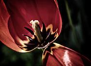 A red tulip begins to drop its petals in Bucks County, Pennsylvania.