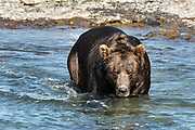 A large Grizzly bear boar fishes in the water for chum salmon in the upper McNeil River falls at the McNeil River State Game Sanctuary on the Kenai Peninsula, Alaska. The remote site is accessed only with a special permit and is the world's largest seasonal population of brown bears.