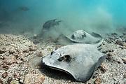 Southern diamond stingray (Dasyatis dipterura)<br /> feeding<br /> Santa Fe Island<br /> Galapagos<br /> Pacific Ocean<br /> Ecuador, South America
