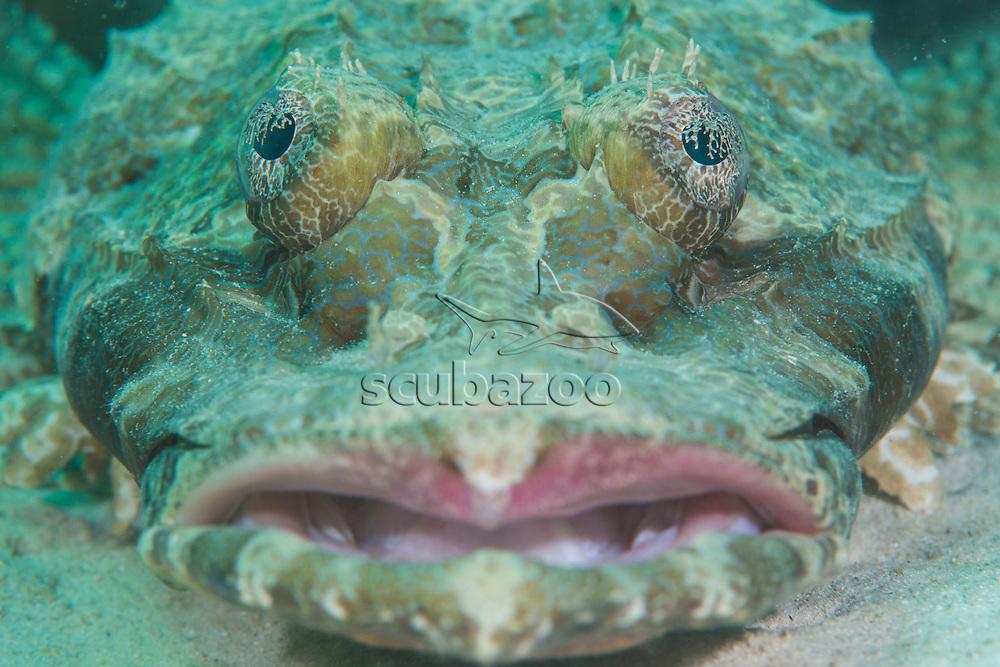 Face of a Crocodile Flathead, Cymbacephalus beauforti, Mabul Island, Sabah, Malaysia, Borneo, South China Sea,