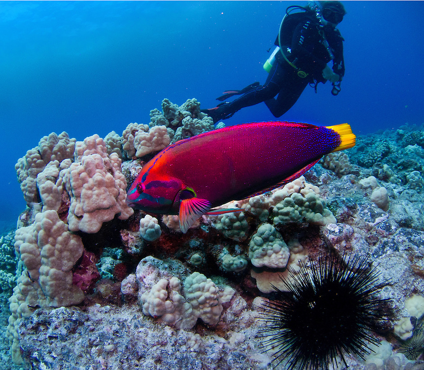 A diver views a Parrot Fish in Hawaii.