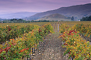 Vineyards in the Edna Valley in fall, near San Luis Obispo, San Luis Obispo County, California