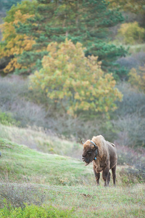 Collared European bison (Bison bonasus) in dune landscape. The wisent is collared to track its movement.