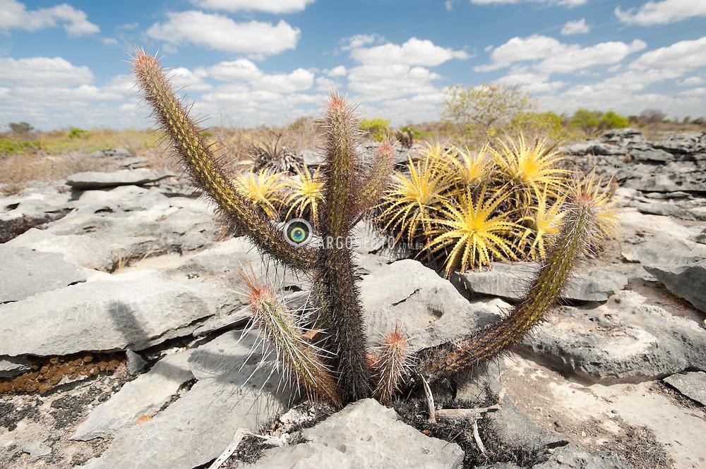 Cactaceae e uma familia botanica representada pelos cactos. Sao adaptados a terrenos e climas com baixa umidade. Geralmente sao plantas suculentas, perenes e espinhosas. Sao nativos dos desertos das Americas. / A cactus (plural: cacti, cactuses, or cactus) is any member of the succulent plant family Cactaceae, native to the Americas. Cacti are distinctive and unusual plants, which are adapted to extremely arid and hot environments.