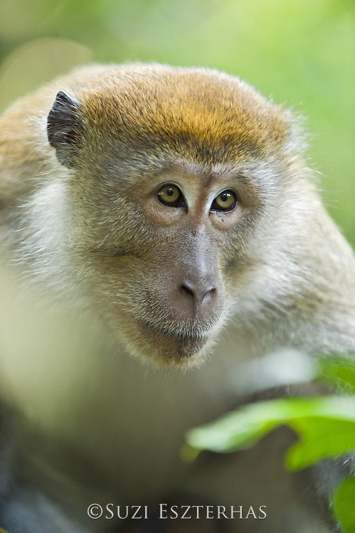 Long-tailed macaque<br /> Macaca fascicularis<br /> North Sumatra, Indonesia