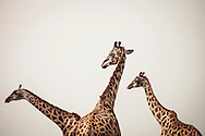 Giraffes in the Masai Mara National Reserve, Kenya, Africa