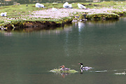 Pair of Red-breasted Merganser ducks, Mergus serrator, on loch on Isle of Mull in the Inner Hebrides and Western Isles, West Coast of Scotland