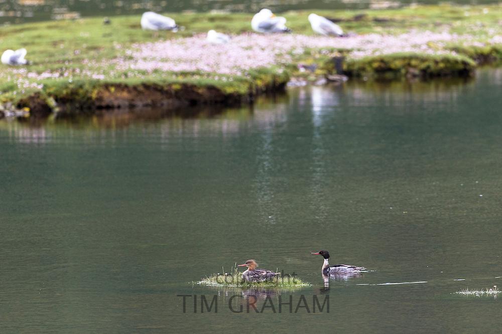 Pair of Red-breasted Merganser ducks, Mergus serrator, on loch on Isle of Mull in the Inner Hebrides and Western Isles, West Coast of Scotland