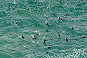 Mit perfekter Stromlinienform an das Leben im Wasser angepasst ist der Felsenpinguin (Eudyptes chrysocome) ein schneller Schwimmer, der häufig wie ein Delfin aus dem Wasser herausschnellt. Diese Art des Schwimmens ist, wie Wissenschaftler herausgefunden haben, besonders effizient, da der Luftwiderstand sehr viel geringer ist als der Widerstand des Wassers. | With its streamlined body shape the rockhopper penguin (Eudyptes chrysocome) is a swift swimmer. Jumping out of the water, called porpoising, is a very efficient way of fast swimming as the resistance of the air is much lower than that of the water.