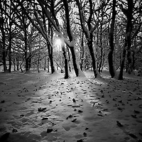 Oak Trees at sunset, snow floor with oak leaves scattered, sun peeking through the branches