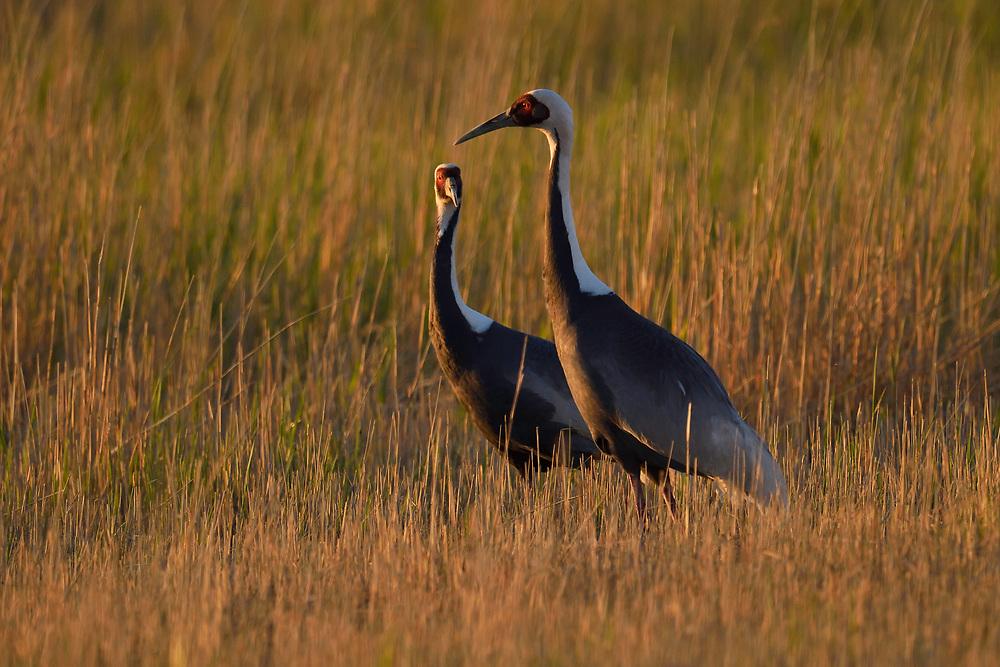 White-naped Crane, Grus vipio, Inner Mongolia, China