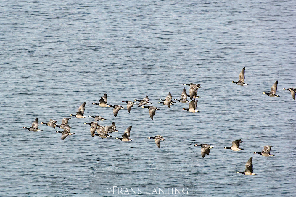 Barnacle geese migrating south, Branta leucopsis, Greenland