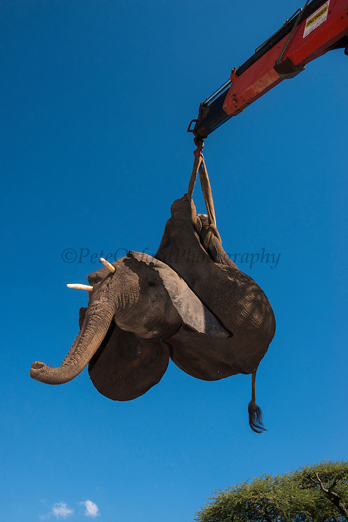Tranquilized elephant being loaded by crane<br />