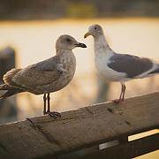 Two gulls sharing a moment - Foss Waterway, Tacoma, WA