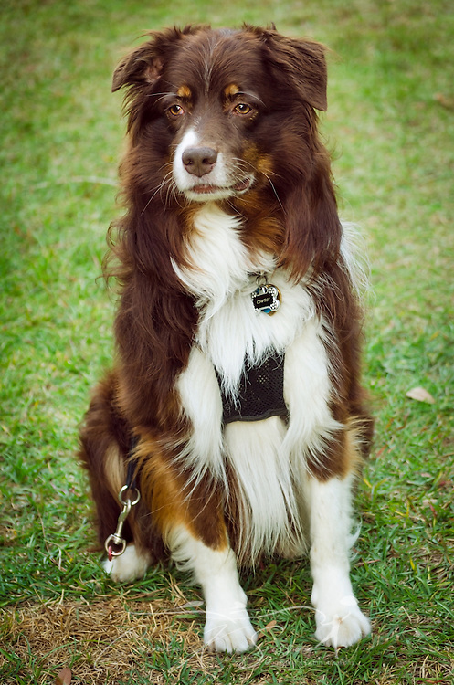 Cowboy, a six-year-old, red tri Australian Shepherd, wears a no-pull harness, Oct. 30, 2014, in Coden, Alabama. (Photo by Carmen K. Sisson/Cloudybright)