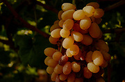 Close up of a cluster of ripe grapes on a grapevine in a vineyard Photographed in the Lachish Region, Negev, Israel