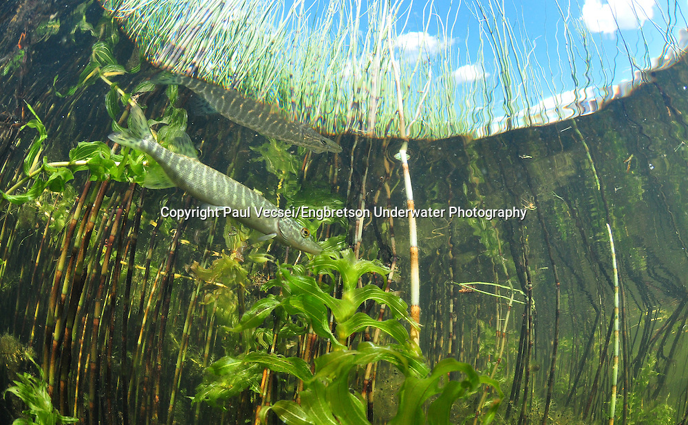 Northern Pike (juvenile)<br />