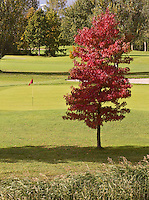 NUMANSDORP - Golfclub Cromstrijen. Japanse esdoorn.  COPYRIGHT KOEN SUYK