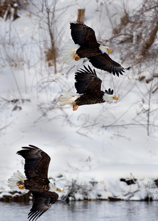 A trio of bald eagles on the Illinois River near Peoria, Illinois. ©David Zalaznik