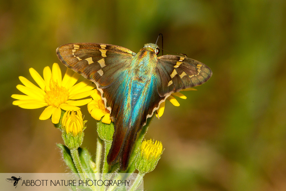 Long-tailed Skipper - Hodges#3886 (Urbanus proteus)<br /> United States: Alabama: Tuscaloosa Co.<br /> Tulip Tree Springs off Echola Rd.; Elrod<br /> 6-Oct-2017<br /> J.C. Abbott #2999