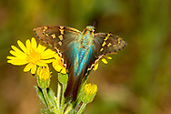 Long-tailed Skipper - Hodges#3886 (Urbanus proteus)<br /> United States: Alabama: Tuscaloosa Co.<br /> Tulip Tree Springs off Echola Rd.; Elrod<br /> 6-Oct-2017<br /> J.C. Abbott #2999