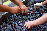 Ripened Brunello grapes, Sangiovese, being harvested at the wine estate of La Fornace at Montalcino in Val D'Orcia, Tuscany, Italy RESERVED USE - NOT FOR DOWNLOAD - FOR USE CONTACT TIM GRAHAM