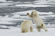 Polar Bear  ( Ursus Maritimus )<br /> Cleaning the shores of Svalbards trip<br /> Linking Tourism &amp; Conservation (LT&amp;C)<br /> Day02 29/08/2015<br /> Svalbard Islands Aug. 27 -Sept.6th  2015 <br /> Photo G.Scala/Deepbluemedia