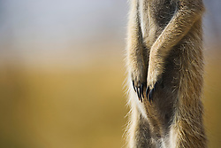 A close up of the paws of a meerkat ( Suricata suricatta ) on sentry duty looking out for predators in the early morning, Kalahari Desert, Botswana, Africa