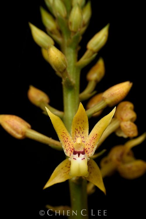 Terrestrial orchid (Plocoglottis moluccana)