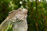Green iguana (Iguana iguana) close-up, Panama, Central America