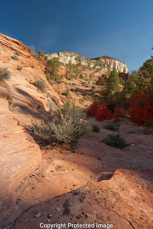 Zions plant life takes center stage in the fall. Oaks and Maples transform into colors of yellow,red, and orange.