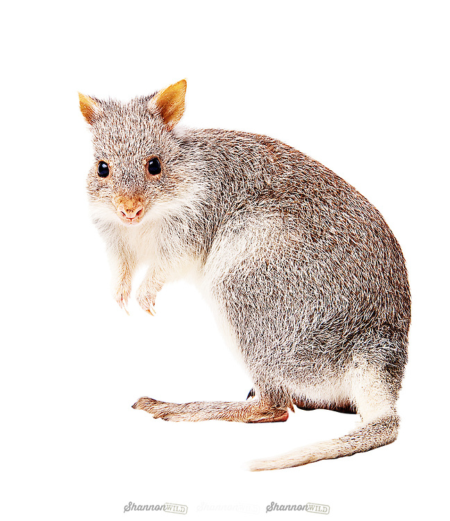 The Rufous Rat-Kangaroo (Aepyprymnus rufescens), also known as the Rufous Bettong, is a small species of the family Potoroidae found in Australia.<br /> <br /> It is found in coastal and subcoastal regions from Newcastle in New South Wales to Cooktown in Queensland, and was formerly found in the Murray River Valley of New South Wales and Victoria.