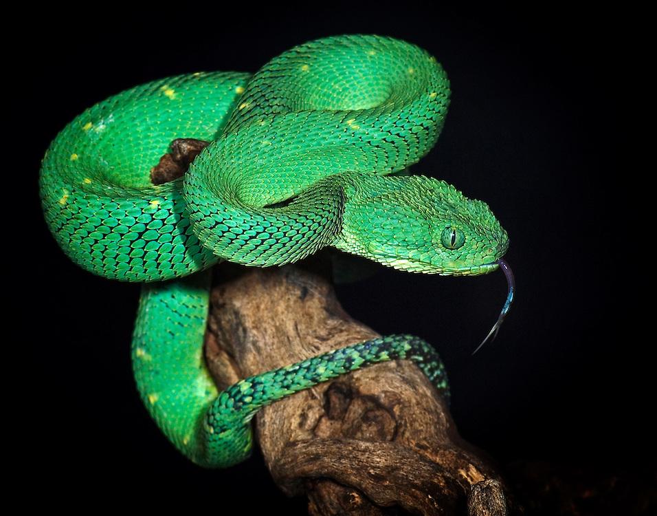 Green Bush Viper (Atheris chlorechis)