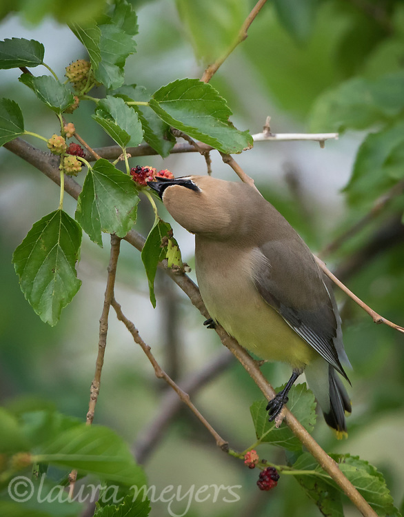 Cedar Waxwing eating berries on tree at Jamaica Bay Wildlife Refuge.