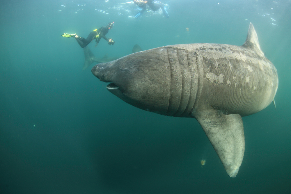 Basking Shark (Cetorhinus maximus); in the area of the Island of Mull; Scotland. June <br /> 2009.<br /> Model release form n&ordm; 1
