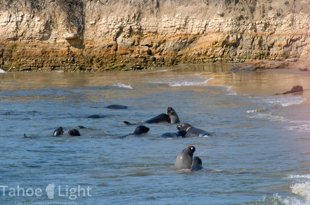 Young male Elephant Seals practice their mating combat at North Beach at the Ano Nuevo state park along Highway One on the Pacific Ocean near the coastal town of Pescadero, just north of Santa Cruz. Ano Nuevo is a prime mating ground for Elephant Seals in the winter.