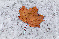 A beautiful red maple leaf contrasts sharply against the white snow at Jack Seaton Park in Winfield.<br /> <br /> &copy;2011, Sean Phillips<br /> http://www.RiverwoodPhotography.com